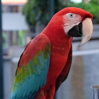 02-papegøje Madeira
