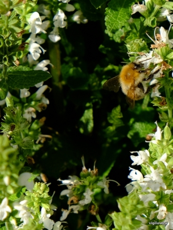 19-brumbasse i hvid blomst