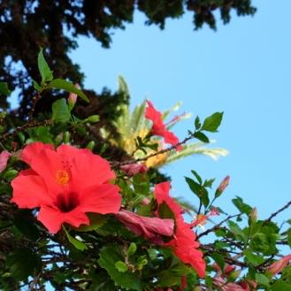 21-hibiscus madeira