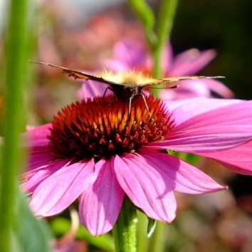 26-sommerfugl på solhat med dun