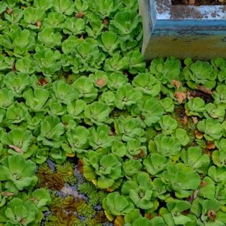 36-madeira botanisk have vandplanter